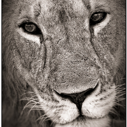 Lion Kings portret