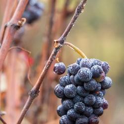 Druiventros, te laat voor oogst