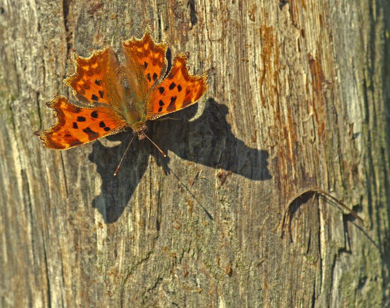 gehakkelde aurelia - Opname van een paar weken geleden. De gehakkelde aurelia is een algemene vlindersoort. In de jaren zestig was hij in Nederland al