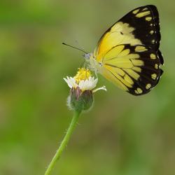 yellow vlinder