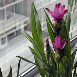 curcuma in bloei en vol met bloemknoppen