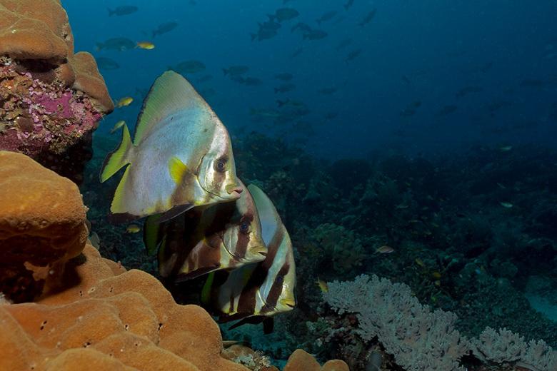 Batfish - Trio Vleermuisvissen schuilt voor de stroming