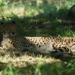 Cheetah in rust