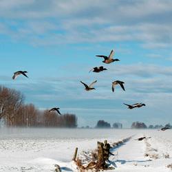 Winter landschap met eenden
