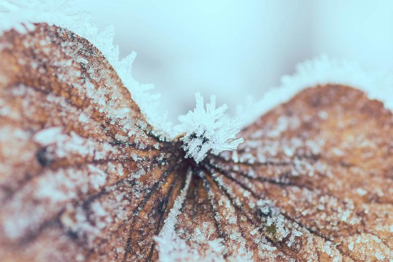 winter - Hortensia met rijp