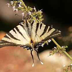 Drinknde Vlinder