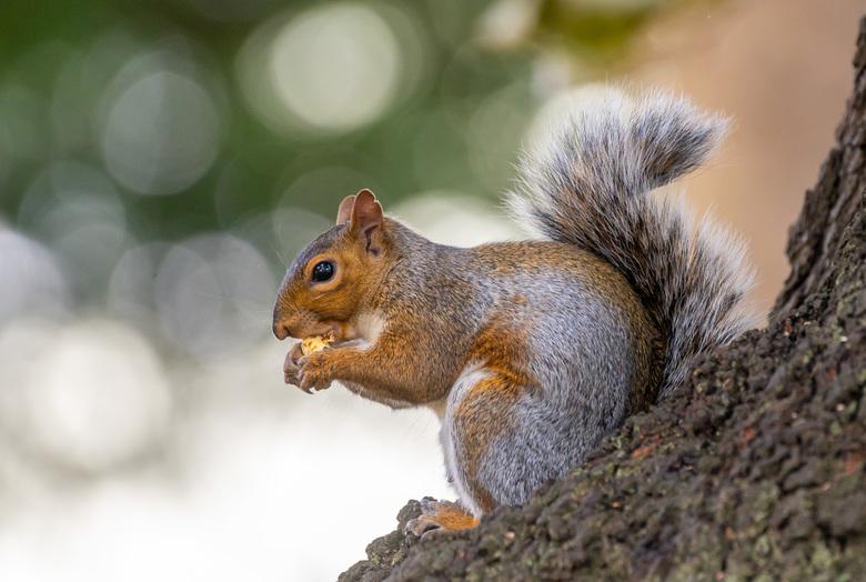 Eekhoorn met nootje - In Engeland hebben ze net even andere eekhoorntjes. Maar ze zijn wel enorm schattig.