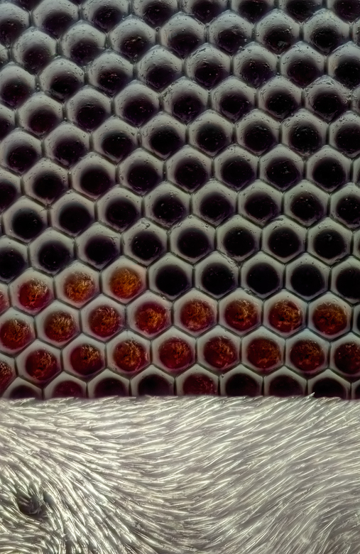 Details Oog Huisvlieg 60x vergroting - Dit is een opname van het oog van een huisvlieg op 60x vergroting.<br /> Je kunt de facetogen duidelijk zijn n