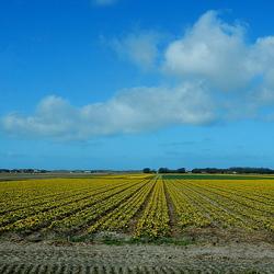 Bloemenvelden Texel.