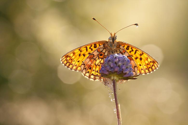 Beauty between drops! - Nog een foto van vorig jaar. Wat was dit een prachtige ochtend en wat een fraaie vlinder is de Zilveren Maan toch. <br /> <br