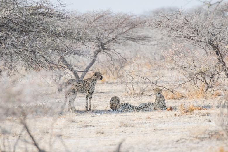 Cheetahs rusten in de schaduw - In Etosha kwamen we deze drie cheetahs tegen die vlak hier voor de weg over renden. Ze zochten snel de schaduw van een