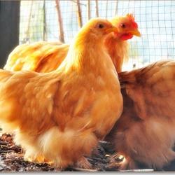 boer wat zeg je van mijn kippen...