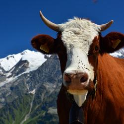 Alpenkoe en Mont Blanc op achtergrond