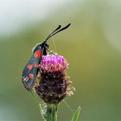 Sint-jansvlinder