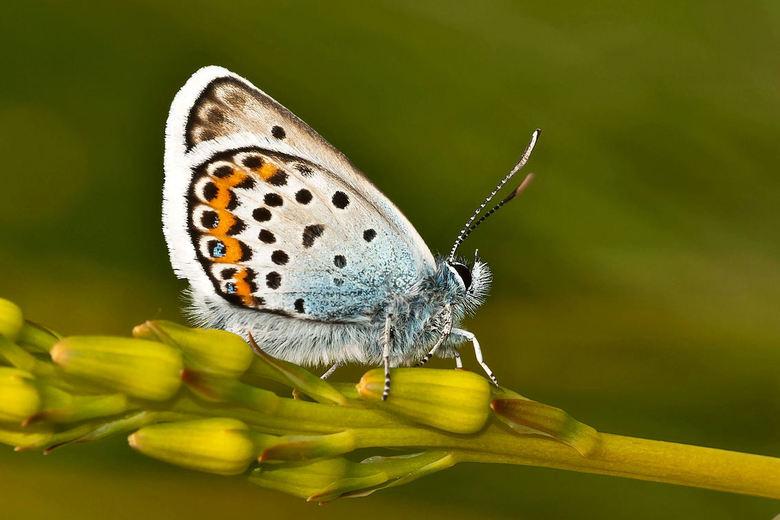 Icarusblauwtje - klein blauw vlindertje gespot, later bleek het een Icarusblauwtje te zijn.....