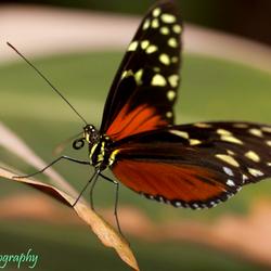 Monarch-vlinder