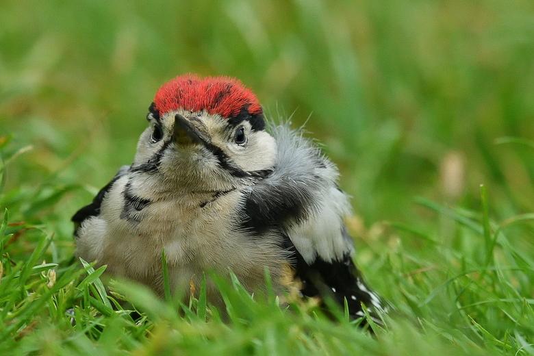 between the gras - afgelopen woensdag zag ik deze jonge specht in het gras zitten , hij is denk ik uit het nest gevallen en was niet heel erg fit , hi