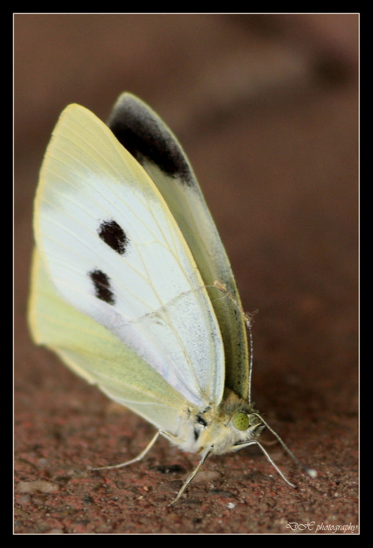 Vlinder - In een vogelkijkhuisje zat deze vlinder rustig in een hoekje.