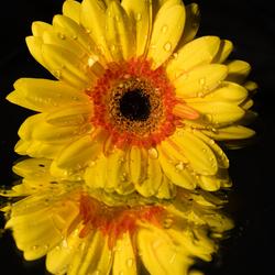 serie bloemen; Gerbera