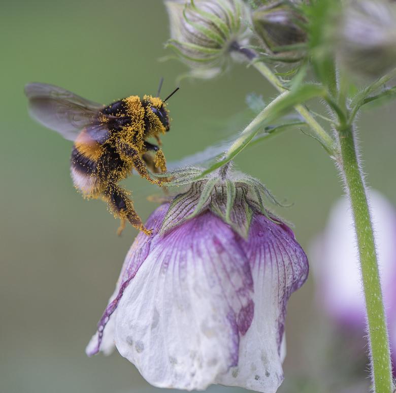 Having fun - Deze grote hommel had het heel erg naar zijn zin. Helemaal onder de stuifmeel vloog hij al zoemend van de ene bloem naar de andere.