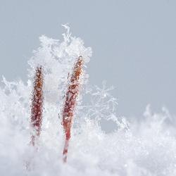 ijskristallen op ruig haarmos