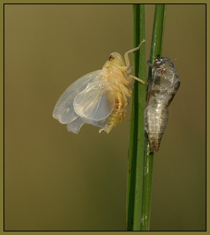 Fragile - Dit kleine Sprinkhaantje was net uit zn huidje gekropen, nauwelijk groter dan 1 cm!<br /> Wat teer ziet ie er dan nog uit!<br /> <br /> I