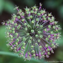 Sierui (Allium hollandicum)