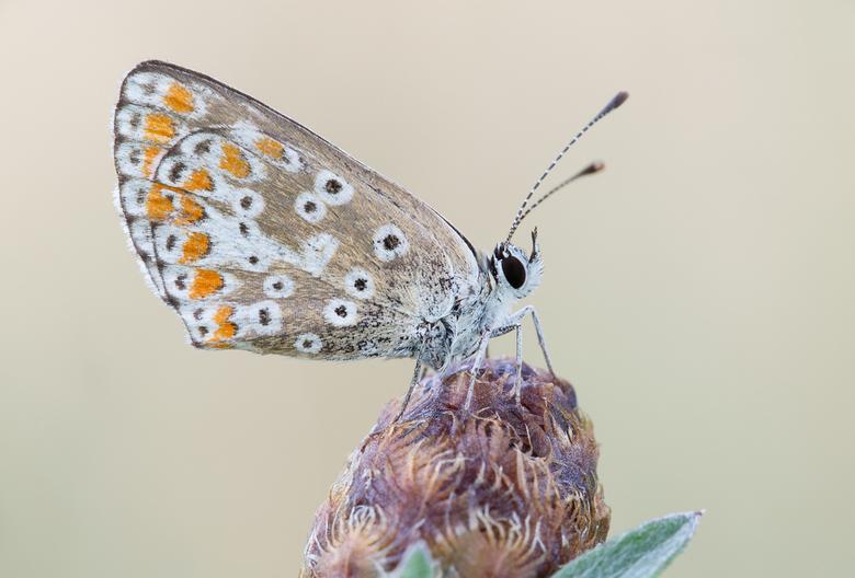 Bruin blauwtje - Aricia agestis - Bruin blauwtje - Aricia agestis