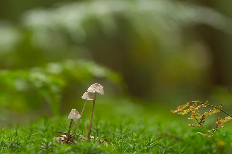 on a rainy day - Een paar weken geleden kon ik op een regenachtige dag het bos in, dat was genieten.... Dit sparrenappeltjes met mycena's had een