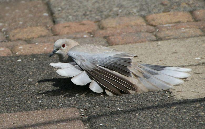 Zonnebadende Tortel. - Zonnebadende Tortel.<br /> Zegt volgens mij genoeg...<br /> Rare vogels die deze zomer wel aparte dingen doen hier achter.<br