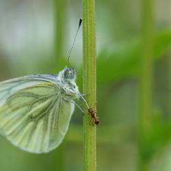 vlindertje pesten