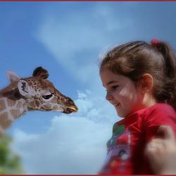 als een giraf te lang is.................
