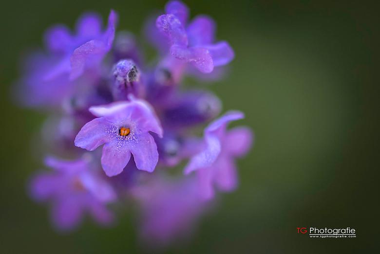 Lavendel - Lavendel