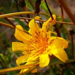 Supermacro, Yellow