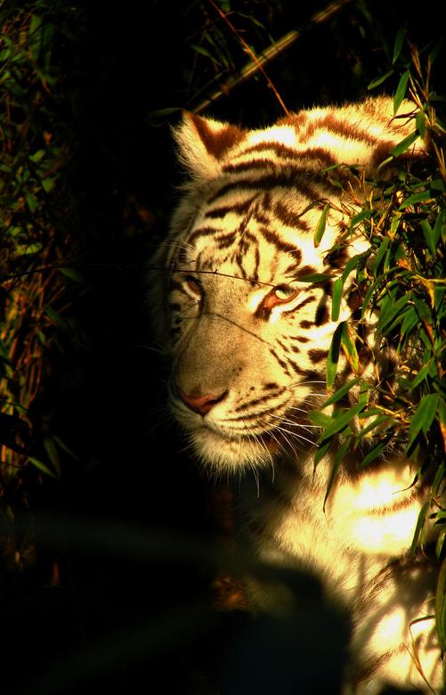 Hide and seek - Eén van de witte tijgers in de dierentuin van Amersfoort verscholen tussen de struiken.