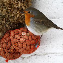Roodborstje op vogelvoer in netje
