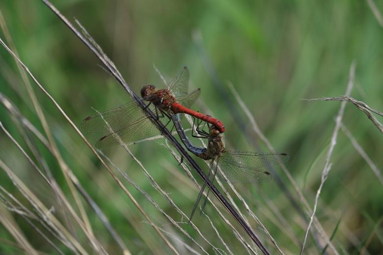 Parende Libellen - Parende Libellen in het najaar van 2016