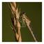 Jong lantaarntje (Ischnura elegans) 2