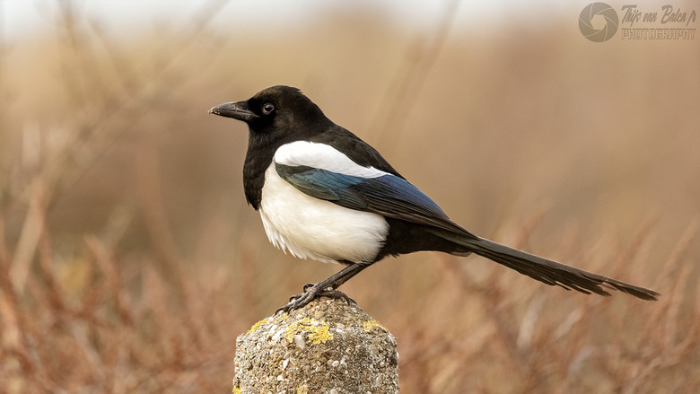 Ekster (pica Pica) - De ekster (Pica pica) is een vogel die behoort tot de familie van kraaiachtigen.<br /> <br /> Exif data : <br /> 400mm<br />