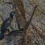 Aalscholver-nest