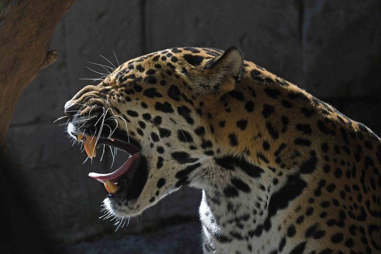 sjagrijn - Geen Valentijnskaart, geen bosje bloemen, geen doosje lekkers...<br /> Mevrouw jaguar is vandaag een beetje chagrijnig. (Ik weet echt wel