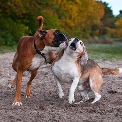 Beagle versus Boxer