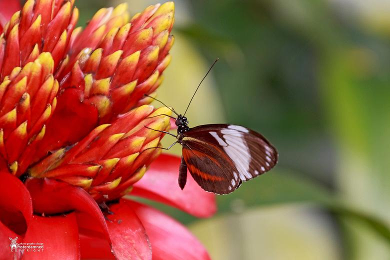 Vlinders aan de Vliet - De postman vlinder (Heliconius melpomene) op een Guzmania Optima bij 'Vlinders aan de Vliet' in Leidschendam.