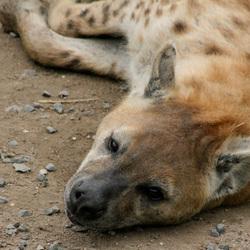 Gevlekte Hyena