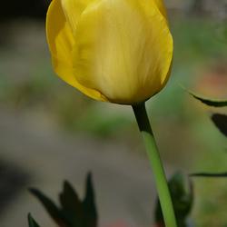 Tulp in mijn tuin