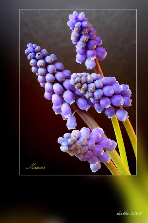 Muscari (blauwe druifjes) 2 -