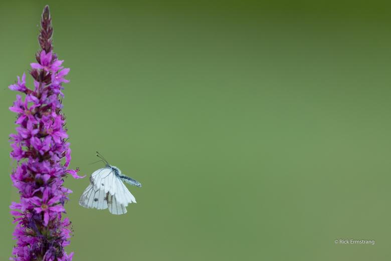 Klein geaderd witje - Dit kleine geaderd witje bleef af en aan vliegen.. Dan sta je dan met je 500mm..<br /> Op 4 mtr afstand op een rijstzak en dit