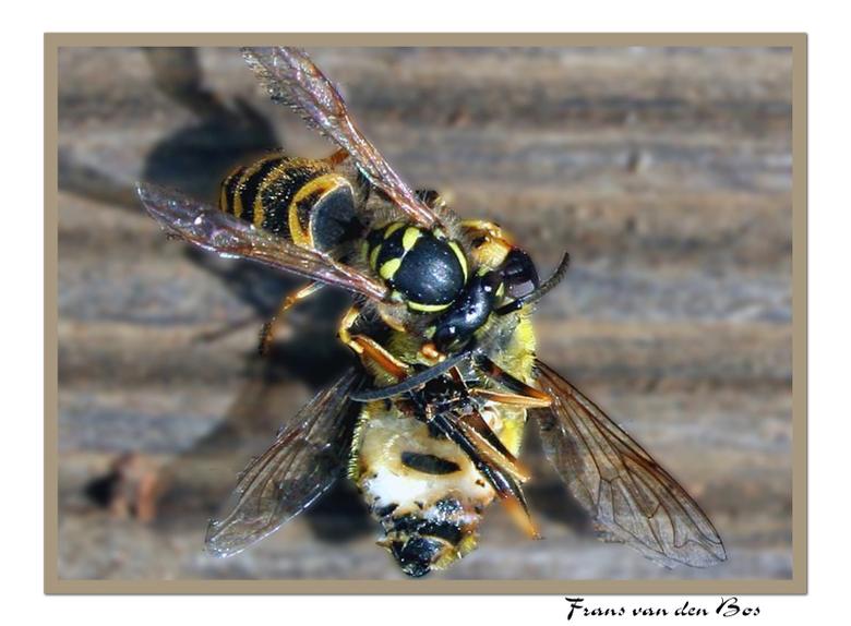 """Op leven en dood 2.......... - Foto 2 van de """"vechtende wespen"""". Ook hier was het weer moeilijk om de juiste scherpte te vinden. Wespen rold"""