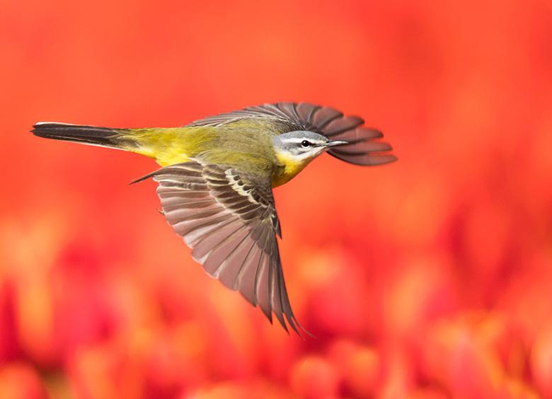 Gele Kwik in het tulpenveld