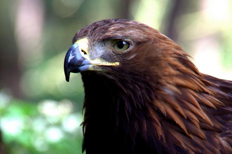 Adelaar - Portretje van een adelaar genomen in tierpark Gangelt